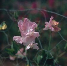 Geranium Stauden-Pflanzen