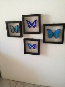 Lot of 4 framed Morpho butterflies