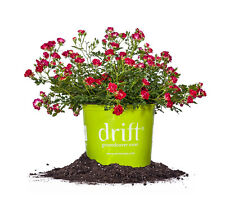 Red Drift® Rose, Live Plant, Size: 3 Gallon