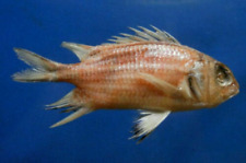 Redcoat fish Sargocentron rubrum Fish Taxidermy Oddities Freeze Dried