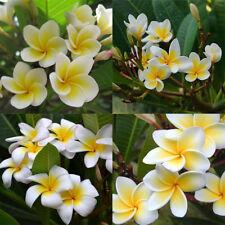 100Pcs/Bag Plumeria Rubra Frangipani Lei Flower Seeds Garden Plants NEW Pleasing
