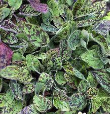 "HIERACIUM MACULATUM ""LEOPARD"", SPOTTED HAWKWEED  50 seeds"