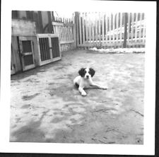 Vintage Photograph '50S English Setter Dog Wilmar Kennels Cincinnati Ohio Photo