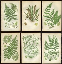 6 Original Antique PRATT Fern Prints Botanical ferns - Ref PL21  1862