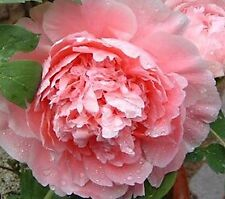 """PEONY PLANT ROOT """"LOVE"""" (NOT SEEDS) WITH 2-3 EYES!"""