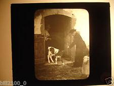 photo ancienne . plaque de verre .positif . enfant. curé . prêtre . veau .