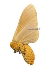 Unmounted Butterfly/Saturniidae - Anisota oslari, FEMALE, USA