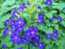 MORNING GLORY FLOWER SEEDS - BLUE *****