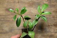 AESCHYNANTHUS SPECIOSUS    LARGE HANGING GESNERIAD PLANT!