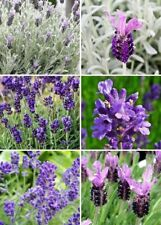 200 English Lavender Purple Flower Seeds Mixed Angustifolia Plant Untreated Herb