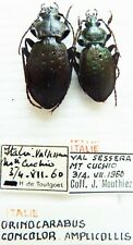 Carabus oreocarabus concolor amplicollis (pair A1 was pinned) from ITALY