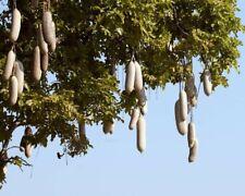10 Samen Leberwurstbaum Kigelia africana