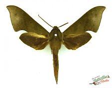 olive green hawk moth Xylophanes juanita SET x1 Guatemala insect art specimen