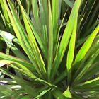 RED EDGED DRACAENA Marginata Madagascar Dragon Tree plant in 200mm pot