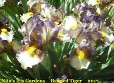 Banded Tiger Very Colorful Dwarf Bearded Iris Rhizomes (3)