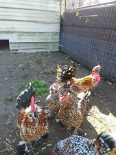 8+ Booted & Bearded Millie D'uccle Fleur And Bantam Mottled Cochin Hatching Eggs