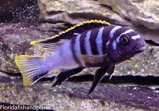 "Four Fish Colony, Labidochromis sp. ""Mbamba"" 1.5 inch African Cichlid Mbuna"