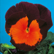Kings Seeds - Pansy Jolly Joker F2 - 75 Seeds