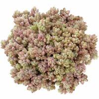 Sedum dasyphyllum Minor Corsican Stonecrop (2'' or 4'')