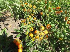 Sunsugar Tomato Seeds Garden Seeds 25 To 1,000 Seeds Quantity Sun Sugar