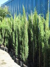 3x Mittelmeerzypresse 160 Cm Saulen Toskana