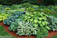 Mixed Hosta Collection x 6 Bare Root Perennial Plants Named Varieties