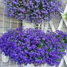 Trailing Lobelia erinus pendula 'Sapphire' Hanging baskets Bedding  18,000 SEEDS