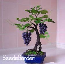Miniature Grape Vine Garden PATIO SYRAH Vitis Vinifera 50 PCS Seeds Fruit Bonsai