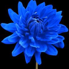 100X Rare Blue Beard Dahlia Flower Seeds Beautiful Outdoor Garden Plant Seeds