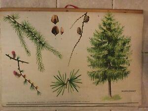 Original vintage botanical pull down school chart of European larch