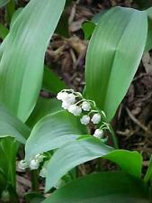 15 Lily of the Valley Perennial Shade Groundcover/Live Plants/Pips/Convallaria M