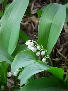 18 Lily of the Valley Perennial Shade Groundcover/Live Plants/Pips/Convallaria M