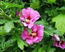 15+ Rose of Sharon Pink Hibiscus Flower Seeds /  Perennial