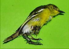 "Common iora Bird Aegithina tiphia Taxidermy Near 4"" FAST SHIP FROM USA"