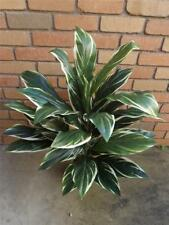 90cm/3FT WHITE & GREEN CORDYLINE *Silk Plant* Fake*Tree*New indoor plant*Potted*