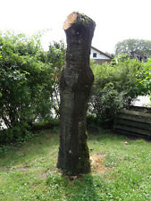 Wunderschöner, großer Kirschbaumstamm