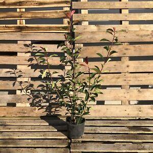 Photinia x fraseri 'Red Robin' Hedging 80-100cm