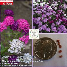 40 CANDYTUFT- DWARF FAIRY MIX SEEDS (Iberis umbellata); Good for garden border