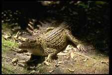 416022 cubano de cocodrilo Crocodylus rhombifer, A4 Foto Impresión