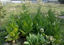 Tobacco Seeds Herb Berli Heirloom