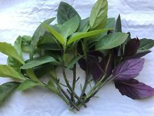10 Longevity Spinach, 10 Okinawa Spinach, tropical Perennial Edible Live Cutting