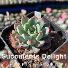 Echeveria The Hook in 70mm pot Succulents Delight plant