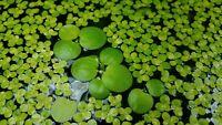 Live Floating Plant Combo: Amazon Frogbit + Giant Duckweed