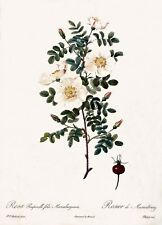 P.J. Redoute Les Roses Illustrations Rosa-Pimpinellia Art Print