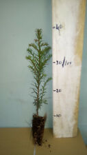 10 Yew  Trees - Taxus Baccata - 20/30cm - Cell Grown