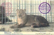 Zoo, Zoolgischer Garten Kyoto, Japan, Löwe, ca. 20er Jahre