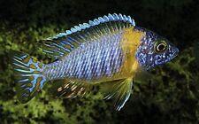 6 (six) x Aulonocara korneliae (Lake Malawi Cichlid)