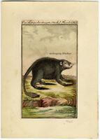 Long-tailed porcupine, Original antique hand colored engraving, from 1785.