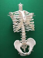 Wirbelsäule Brustkorb Becken 3B Scientific Didaktisch Lehrmodell Knochen Skelett