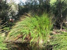 Tassel Cord Rush - BALOSKION TETRAPHYLLUM - 30 Seeds Tropicals